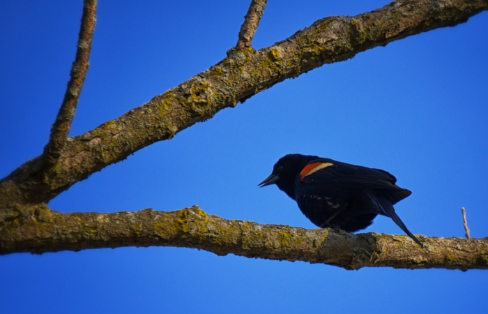 red-winged blackbird speaks